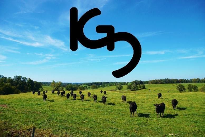 Heifers in Pasture