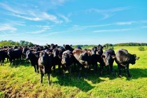 Kirksville Heifers